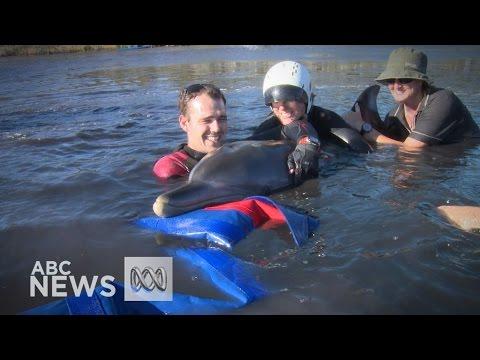 Verdwaalde dolfijn in Australië