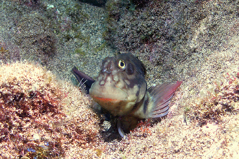Rotsslijmvis met zijn guitige kop