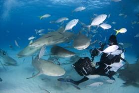 Bahama's – De haaien van de Bahama's