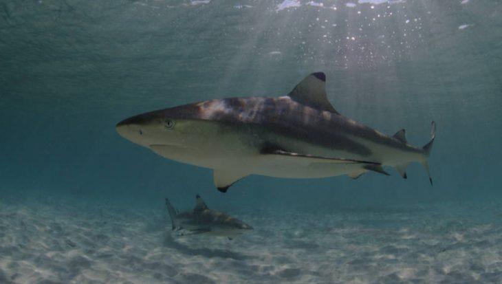 Nieuw haaienreservaat in Dominicaanse Republiek