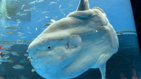 Nieuwe soort maanvis ontdekt in Grote Oceaan