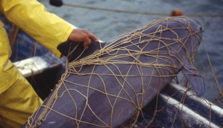 WNF spoort netten op om vaquita te redden
