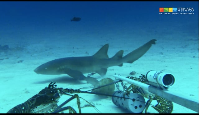 Bijzondere confrontatie vastgelegd tussen haai en twee hongerige kreeften