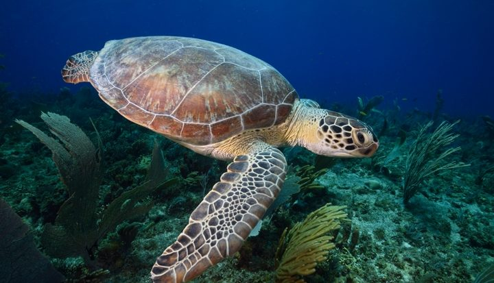 Stropers doden zeeschildpadden op Bonaire