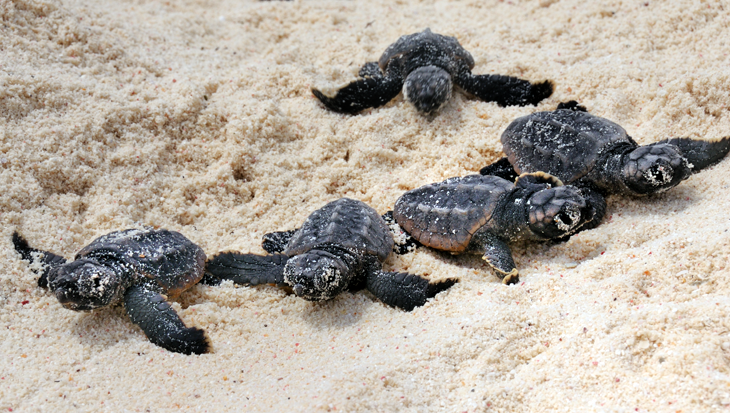 9.700 zeeschildpadden geboren op de stranden van Bonaire