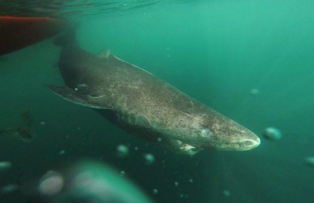 Unieke ontdekking: haai van 512 (!) jaar oud
