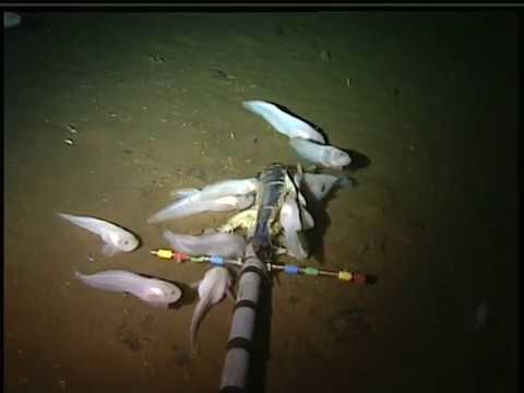 Gloednieuwe vissoort leeft op 8000 meter diepte