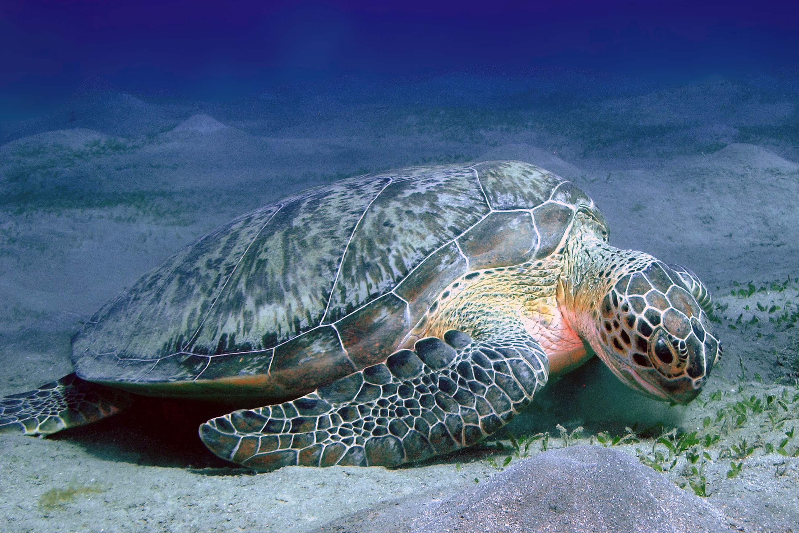 Grote schildpadden op het rif Abu Dabab.