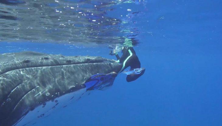 Een bultrugwalvis waarschuwt duikster voor een tijgerhaai