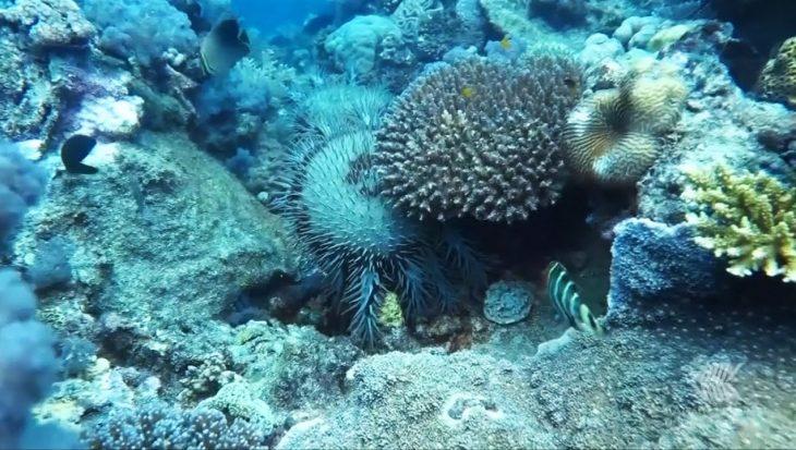 Wetenschappers slaan alarm: uitbraak van hongerige doornenkronen bedreigt grootste koraalrif ter wereld