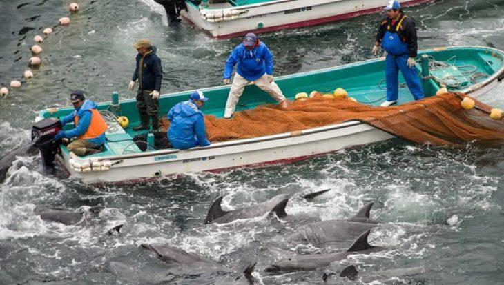 Al 500 dolfijnen gedood tijdens jachtseizoen in Taiji