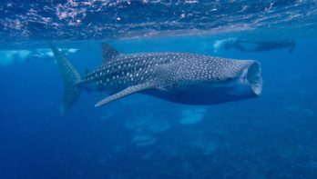 Het hele jaar door zijn er walvishaaien op de Malediven