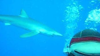 Blauwe haaien verblijven graag rond de Azoren