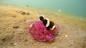 Finding Nemo in Lembeh