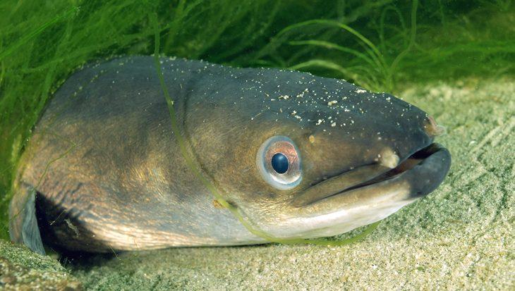 Paling of aal, één en dezelfde vis