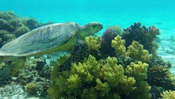 Schildpadden in Marsa Alam
