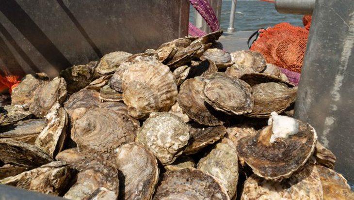 1500 kilo oesters te water voor nieuwe schelpdierbanken in de Noordzee