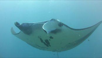 Manta's op Bali,  bucketlist duik bij Nusapenida