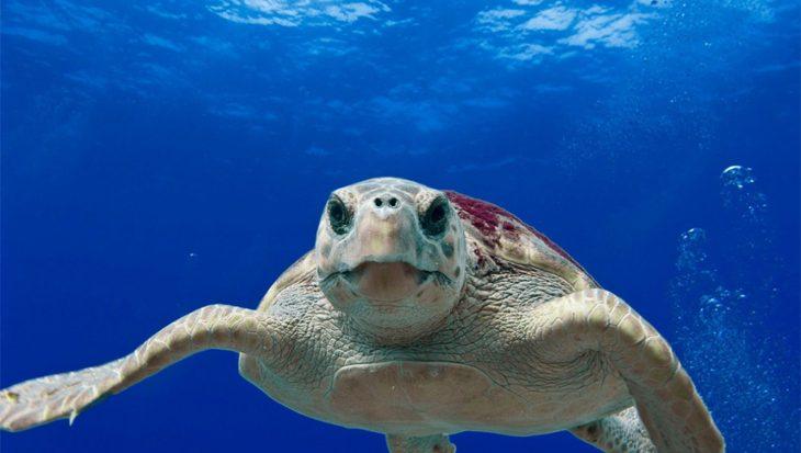 Plastic afval bedreigt zeeschildpadden al voor ze hun ei verlaten