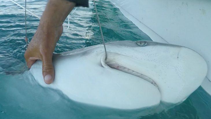 Koop en red een haai met jouw duikvereniging