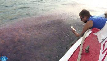 Duizenden kwallen kleuren Ierse zee roze
