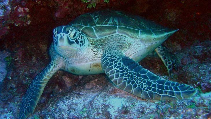 Soepschildpad eet zichzelf de vernieling in