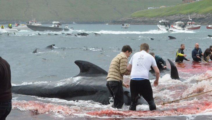 Honderden Grienden gedood op de Faeröer eilanden