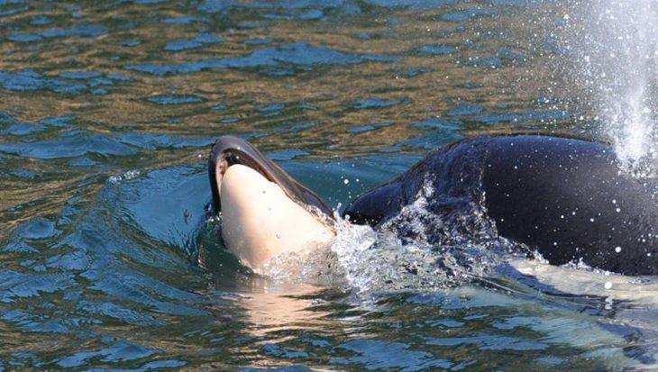 Rouwende orka moeder laat overleden kalfje los