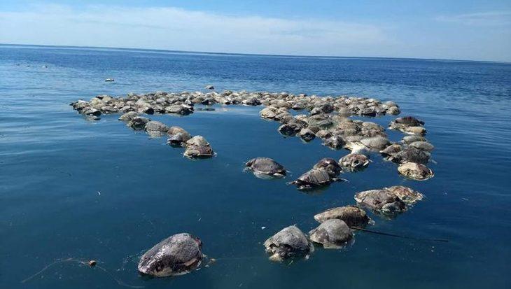 Honderden bedreigde zeeschildpadden dood gevonden in visnet