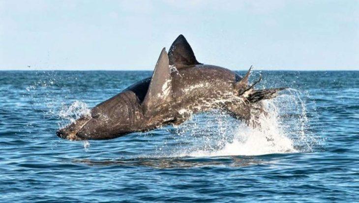 Reuzenhaai blijkt net zo hoog te kunnen springen als een witte haai