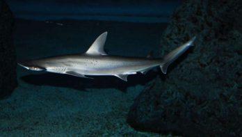 Voor het eerst een allesetende haai ontdekt