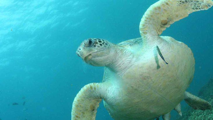 Eén stukje plastic kan schildpad al fataal worden