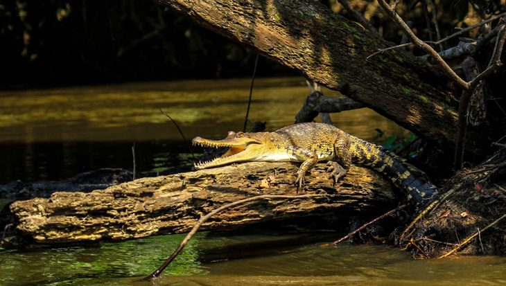 Aaibare krokodillensoort ontdekt in Centraal-Afrika