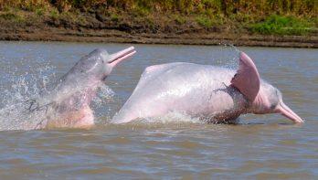 Rivierdolfijnen in Peru voor het eerst voorzien van zender