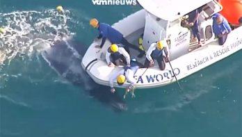 Australische kustwacht redt walviskalfje