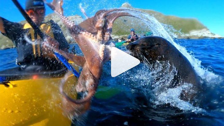 Gekker wordt het niet: zeeleeuw slaat kajakker… met octopus