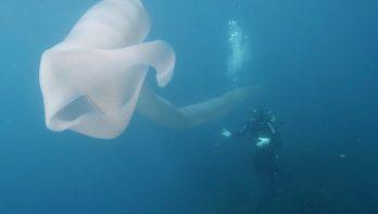 Duikers filmen gigantische zeeworm