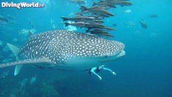 Nu al een whale shark in Thailand gespot