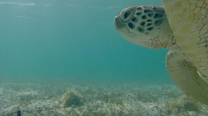 Soepschildpad delft eigen zeemansgraf door invasie van vreemd zeegras