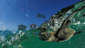 Schaduw moet zorgen voor meer mannelijke zeeschildpadden