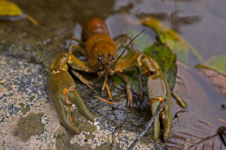 zoetwaterkreeft Orconectes rusticus