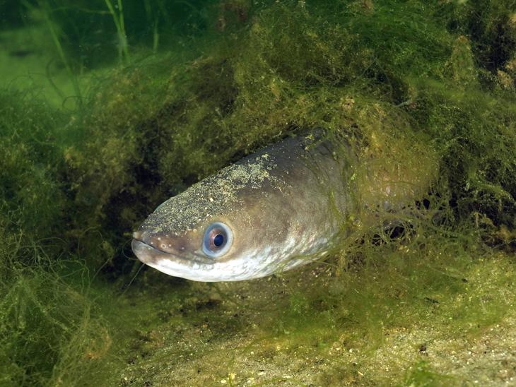 De biologen lieten Europese palingen 50 dagen lang in water zwemmen dat een dosis cocaïne bevatte gelijkaardig aan de hoeveelheid cocaïne die in onze rivieren wordt aangetroffen.