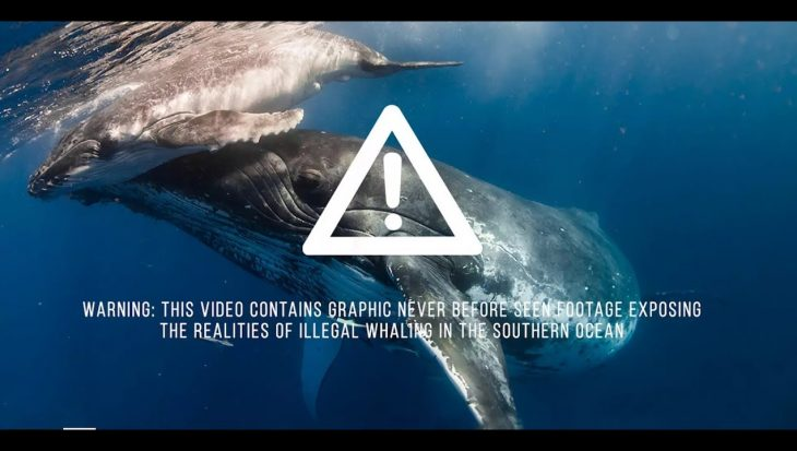 Japan stapt hervat commerciële walvisjacht