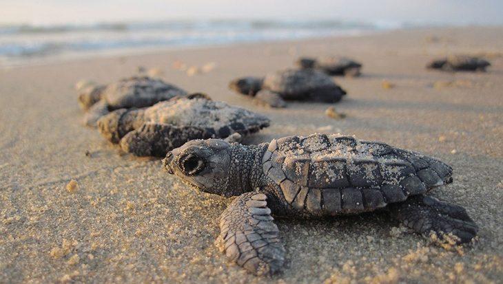 Bijna alle soepschildpadden zijn tegen 2100 van het vrouwelijk geslacht