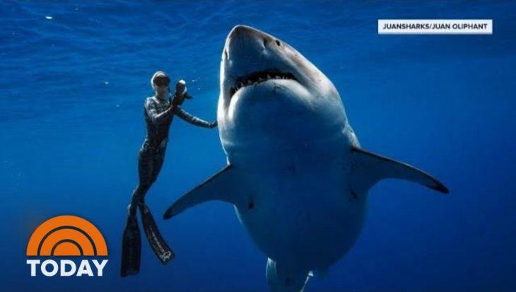 Grootste witte haai Deep Blue duikt weer op