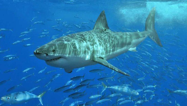 Genoom van witte haaien geeft geheimen prijs: immuun voor kanker