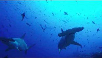 Enorme school hamerhaaien bij Galapagos