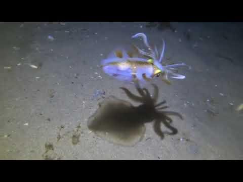 Grappig: pijlinktvis danst met eigen schaduw
