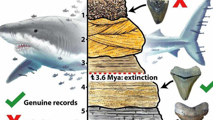 Megalodon-haai stierf veel eerder uit dan gedacht