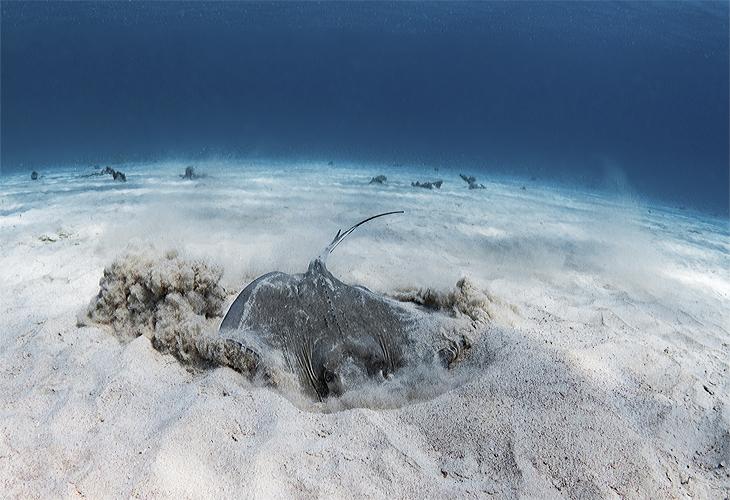 pijlstaartrog Bonaire
